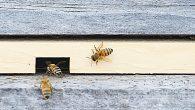 Proizvodnja hrane izravno ovisi o pčelama, a njihov nestanak mogao bi dovesti do katastrofalnih učinaka na čovječanstvo. Na Internetu postoje alarmantna izvješća o tome kako umiru ovi mali insekti. Prema Organizaciji za hranu i poljoprivredu Ujedinjenih naroda (FAO), 75% svjetskih prehrambenih kultura oslanja se na pčele. Na primjer, sočnu i […]
